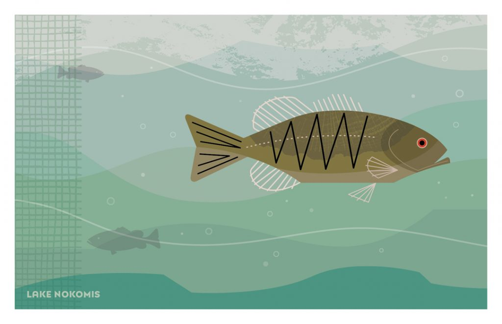 Illustration of Smallmouth Bass from Fantastic Beasts set of postacrds